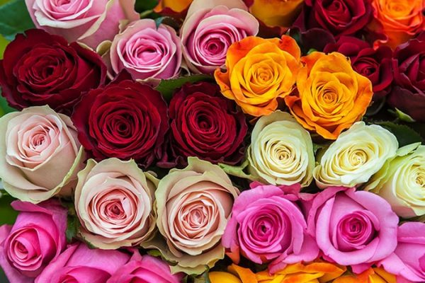 The Language of Rose Colors?
